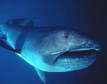220px-megamouth_shark2