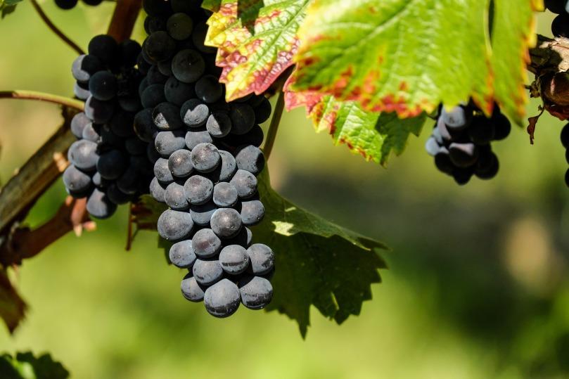 grapes-1696921_1920